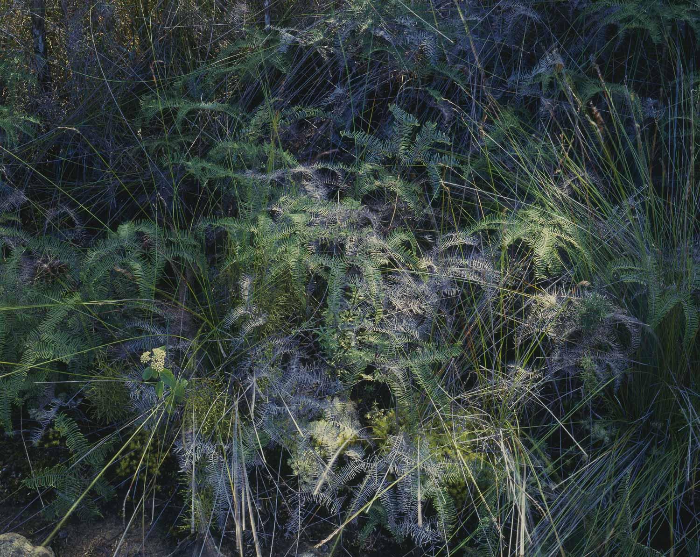 Tangle fern, Kauaeranga Valley (1985)