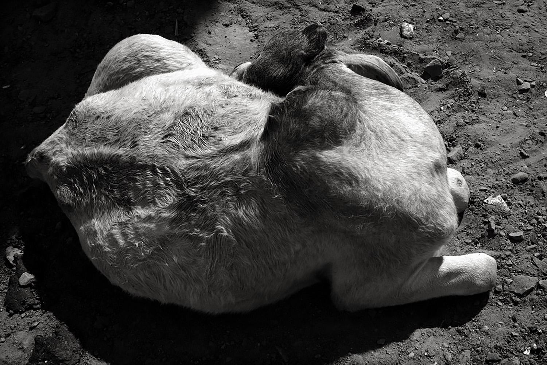 Julian Ward  Sleeping Cow, Bundi, Rajasthan, India  2010