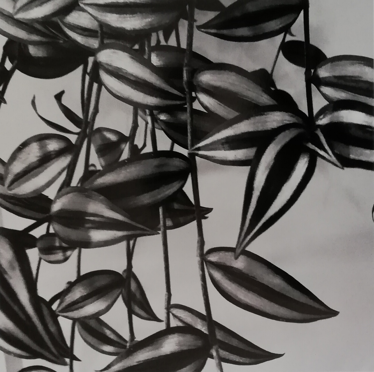 Peter Peryer,  Tradescantia zebrina , 2018, edition of 10, pigment inks on paper, 290 x 290 mm