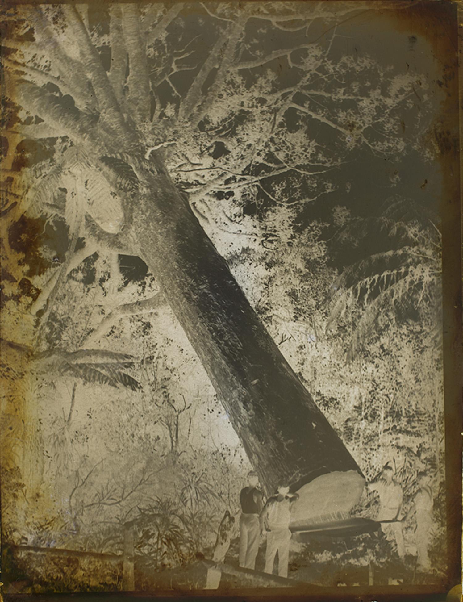 Tudor Collins,  Fallen Kauri , negative, Auckland War Memorial Museum collection