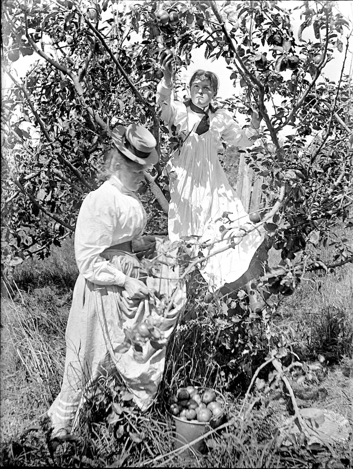 Women picking fruit. Likely North Island, New Zealand circa 1907 – 1911. Lemuel Lyes Collection.