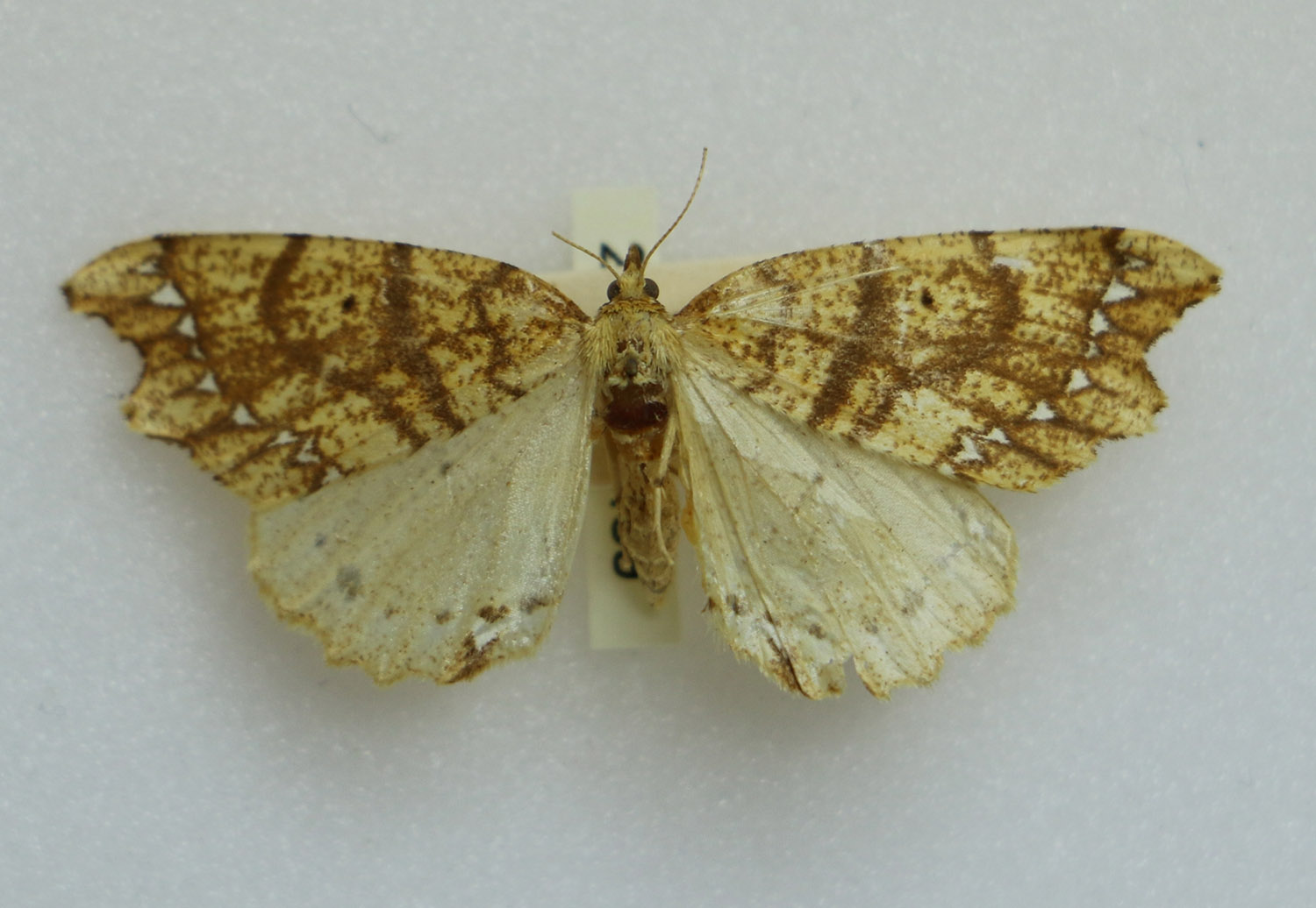 Chalastra pellurgata moth. Collected 15 October 1929. James Wishart Campbell collector. Canterbury Museum