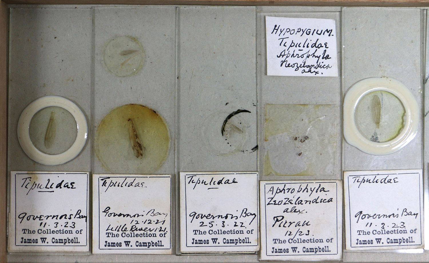 Five slides with wings or hypopygium of crane flies mounted. Collected Governors Bay and Purua 1921 – 1923. James Wishart Campbell collector. Canterbury Museum