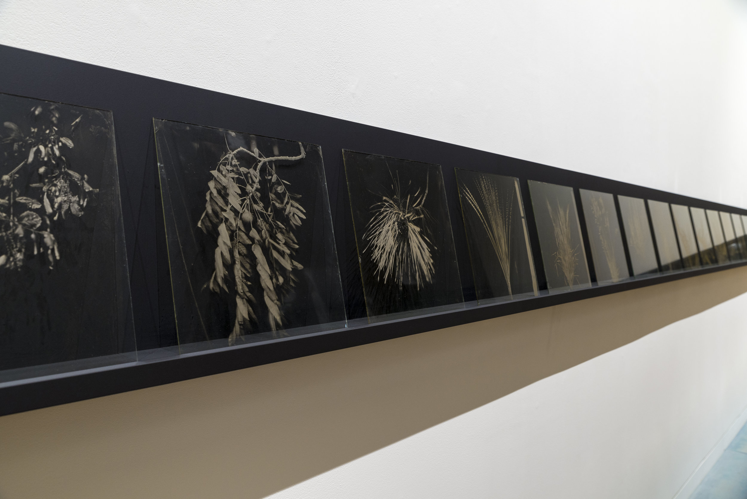 Joyce Campbell,  LA Botanical series , 2006-2007, wet plate collodion on glass (installation view)
