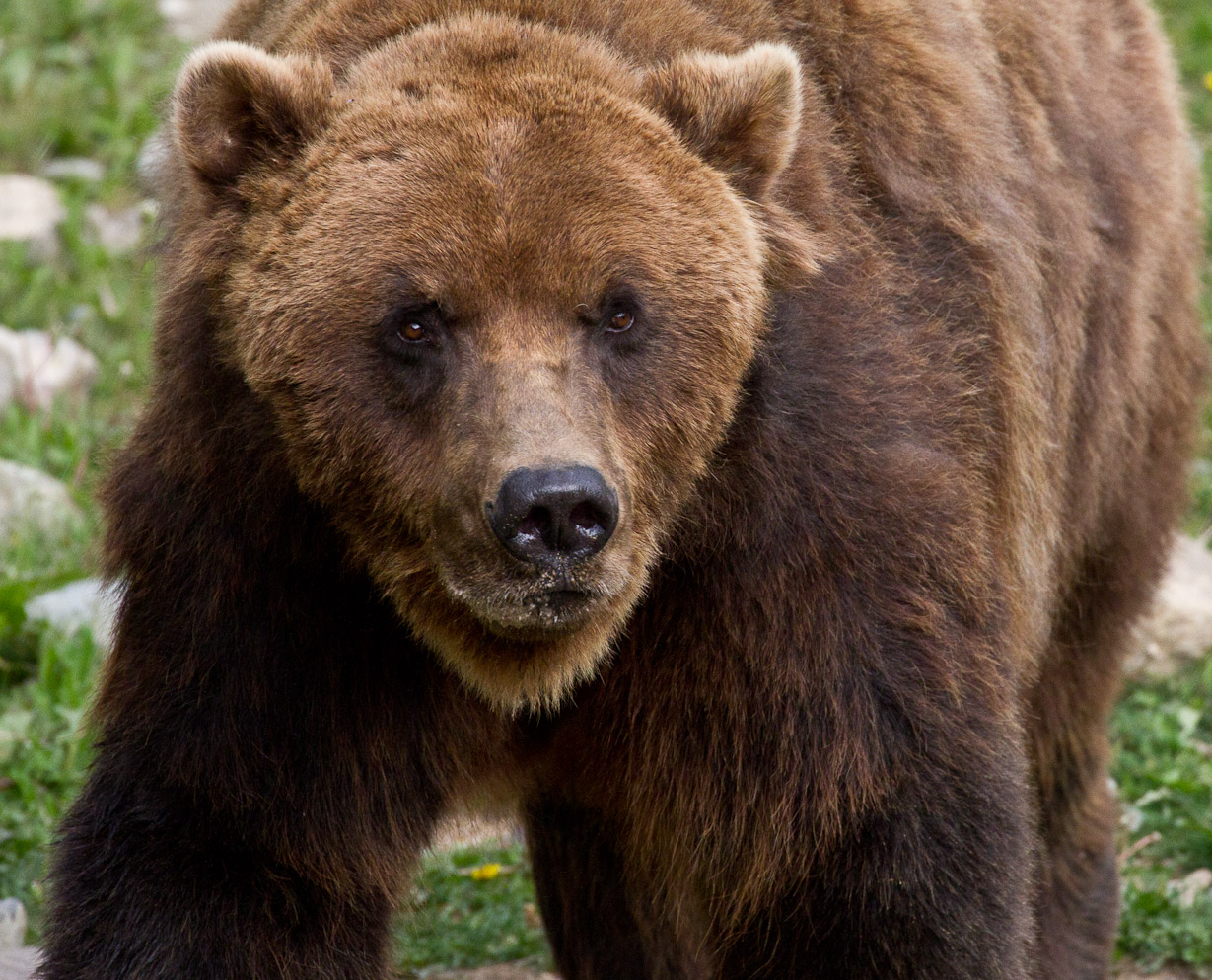 Learn about brown bears and black bears.