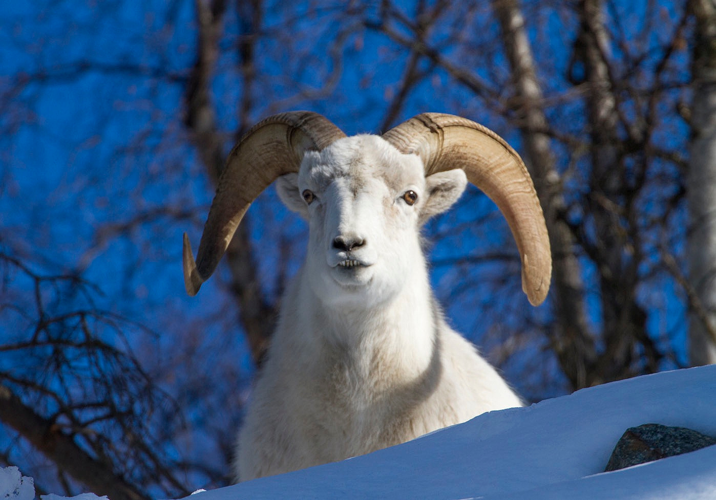 Dall sheep and mountain goat.