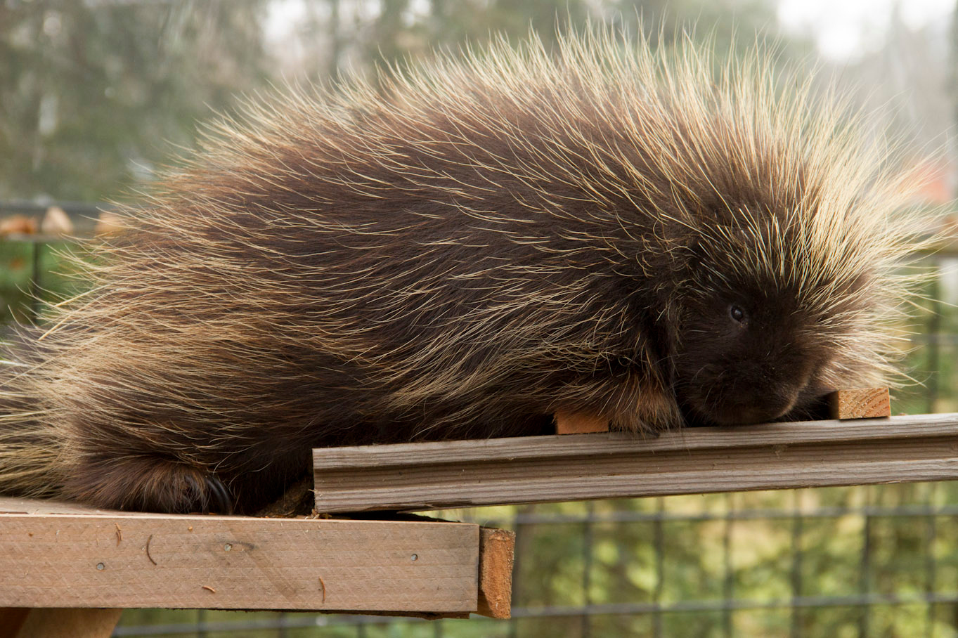 Porcupine and flying squirrel.