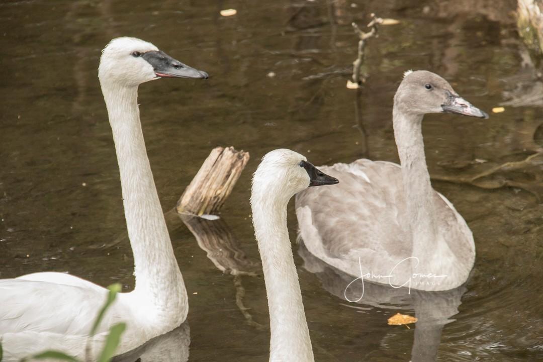 Trumpeter swan.