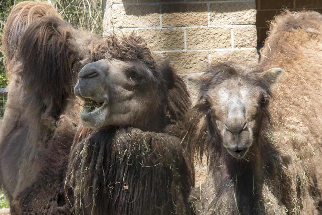 Bactrian camel and alpaca.