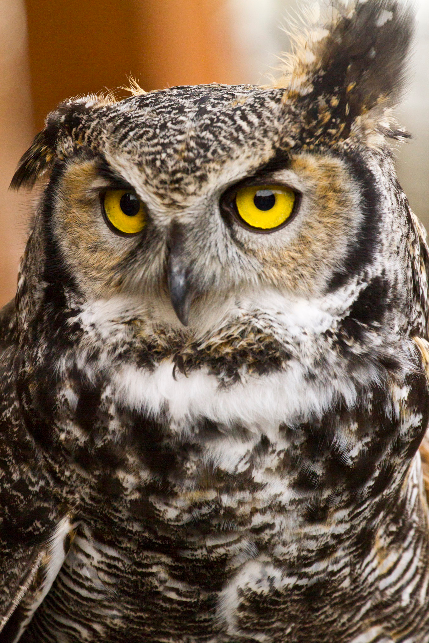 Great gray owl, great horned owl, short eared owl.