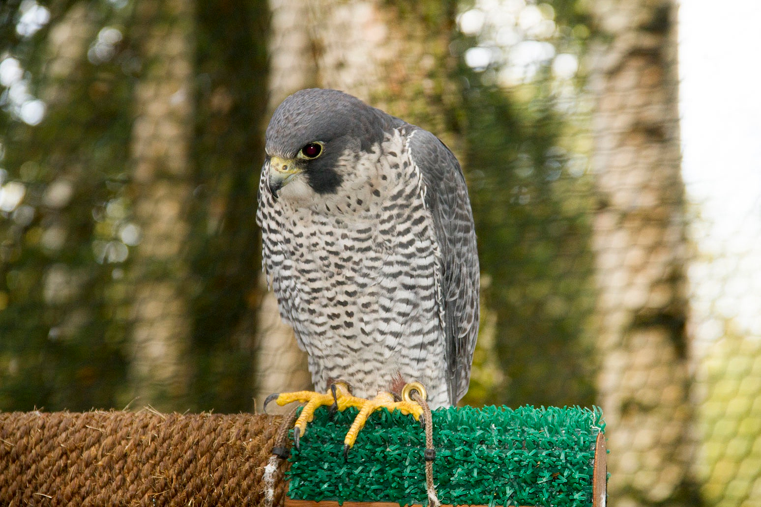 Peale's peregrine falcon and merlin.