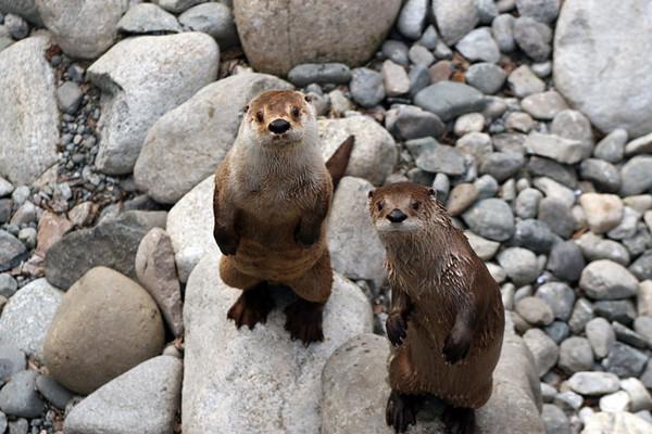 leon gomes otters img 4973.jpg