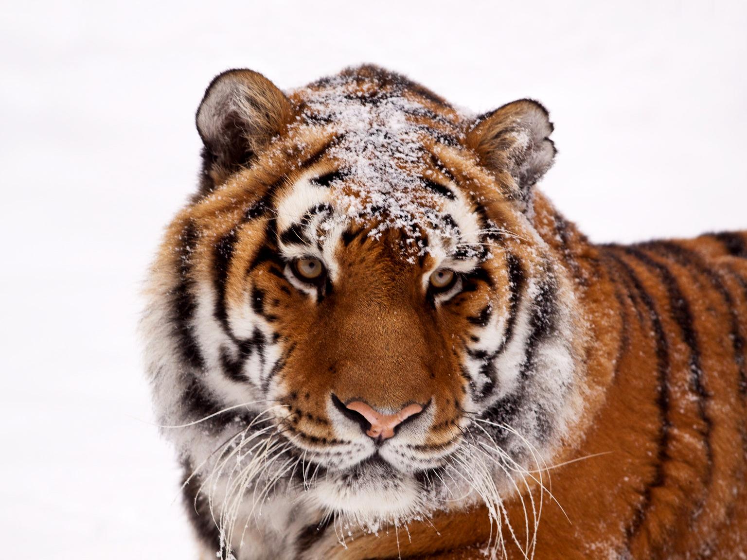 christmas tiger 2 big.jpg