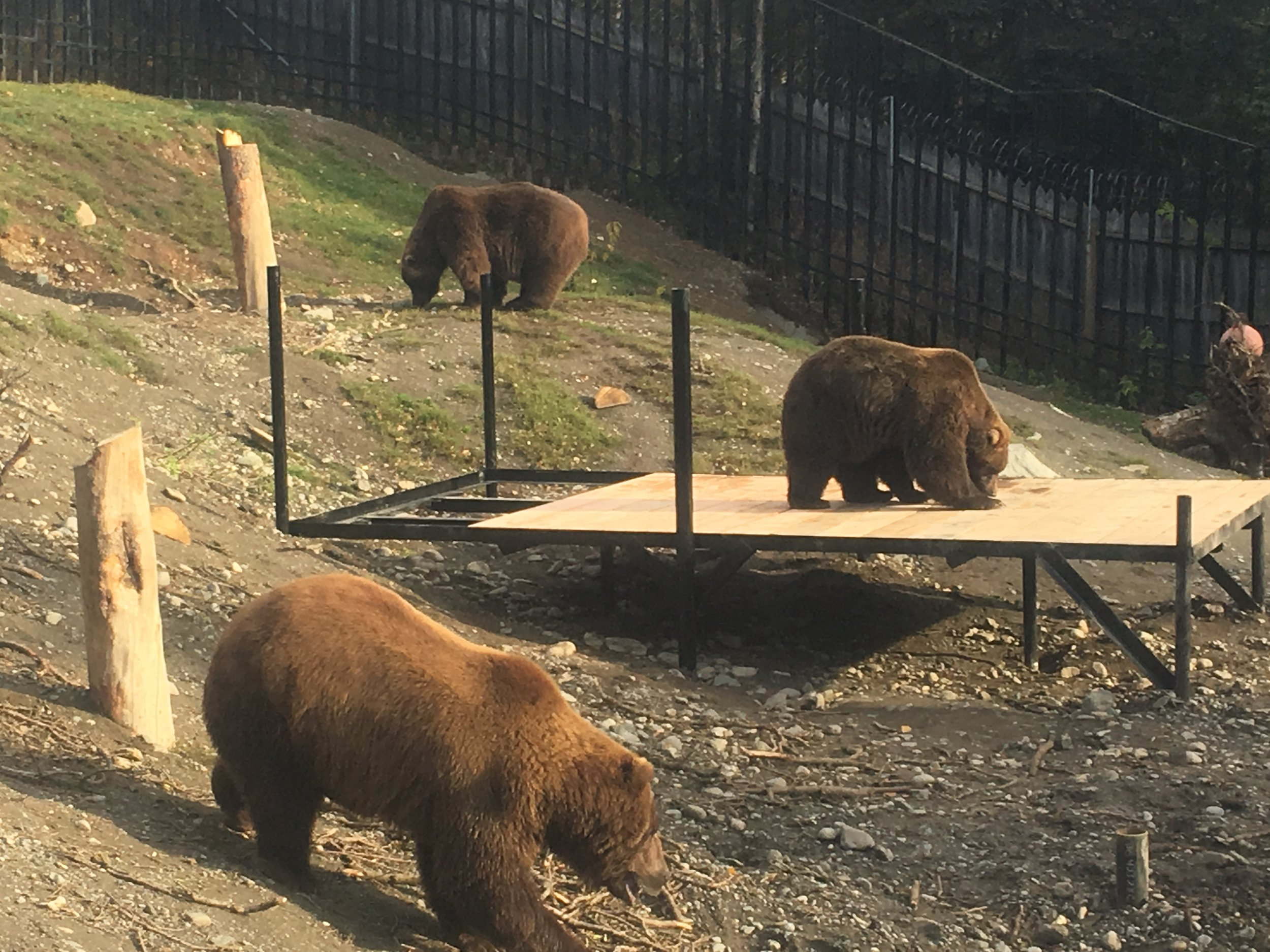 The bears are already seeing the fruits of your donations! Image by zookeeper Tim Lescher.