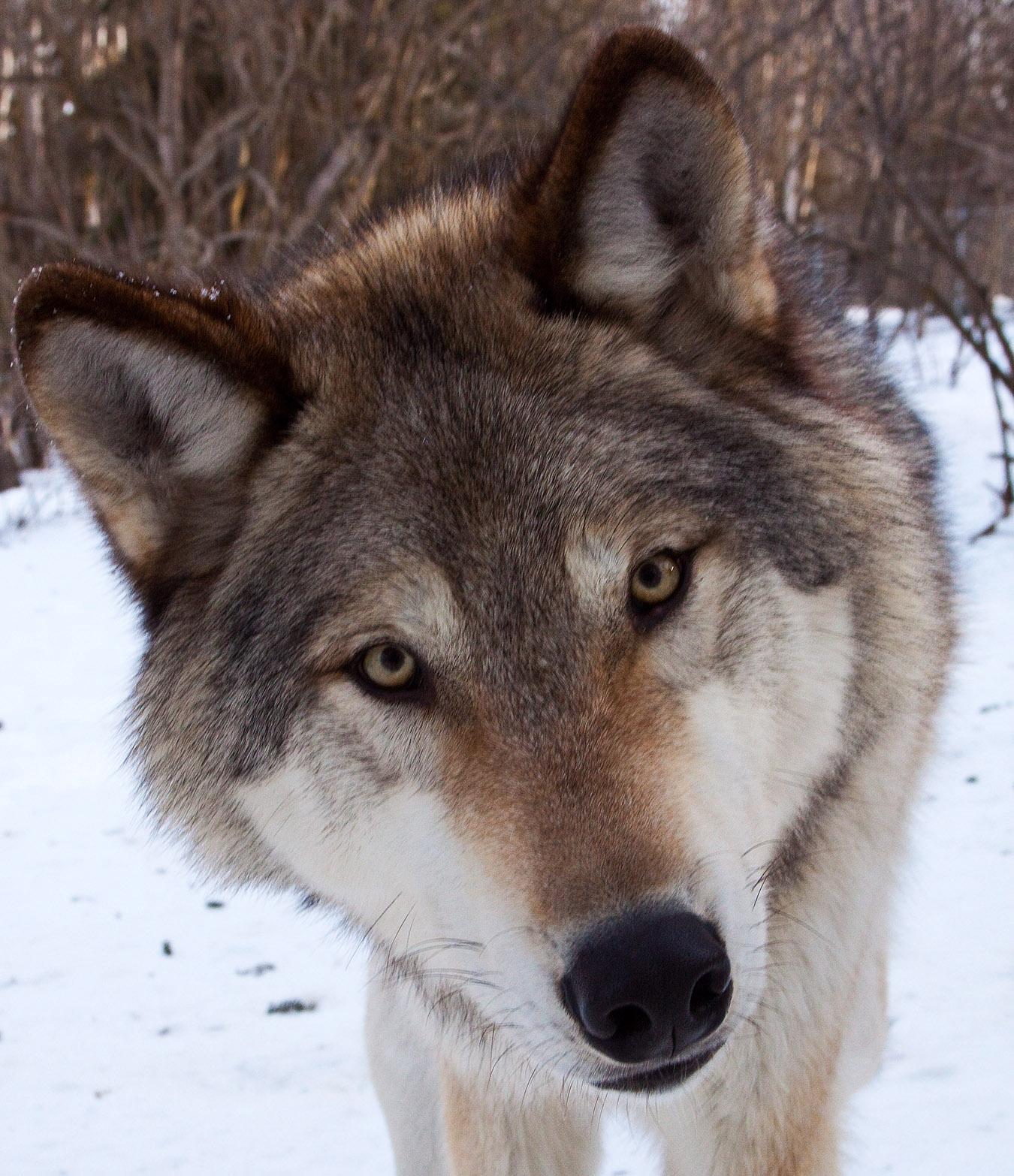 wolf_3940.jpg