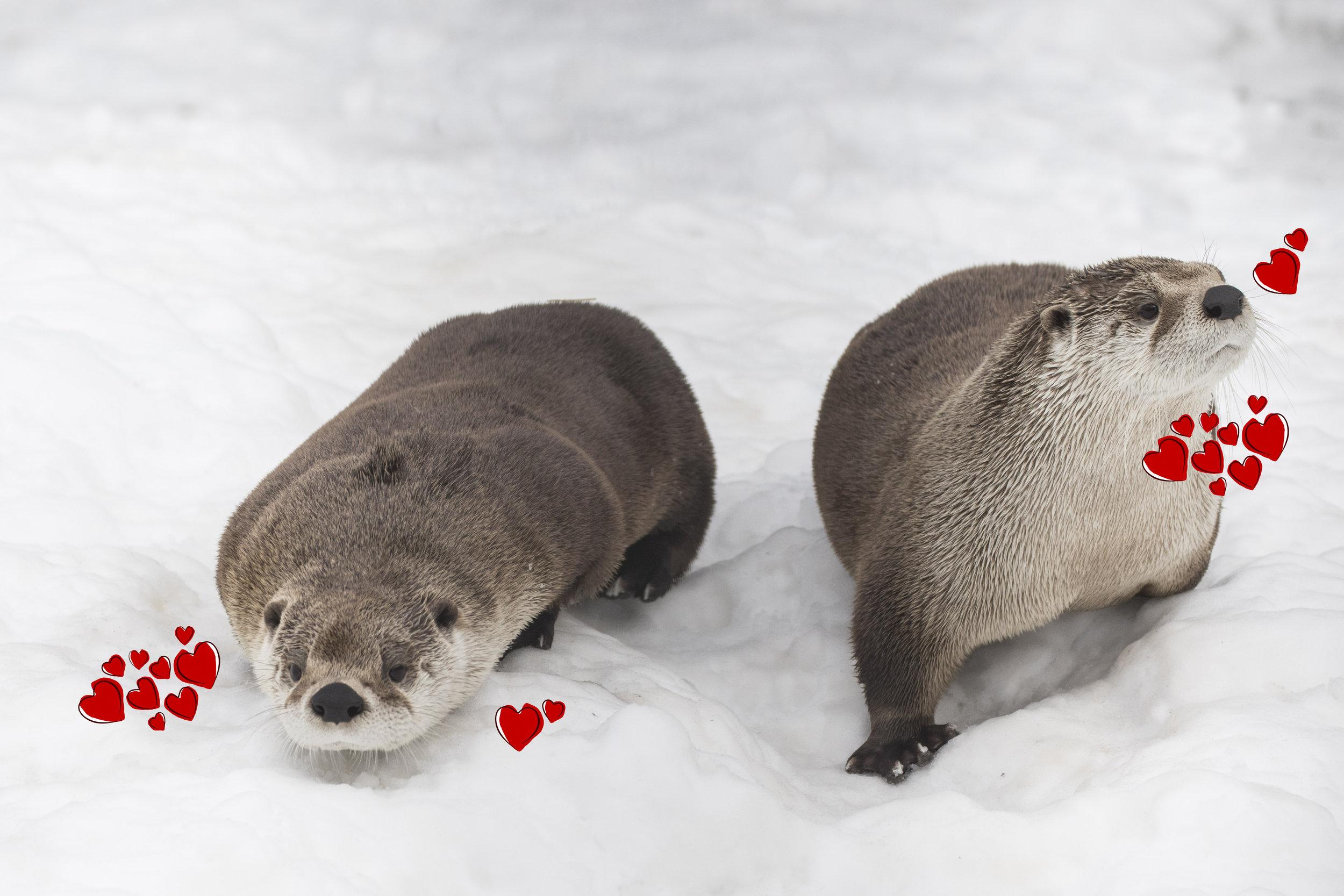 otter love.jpg