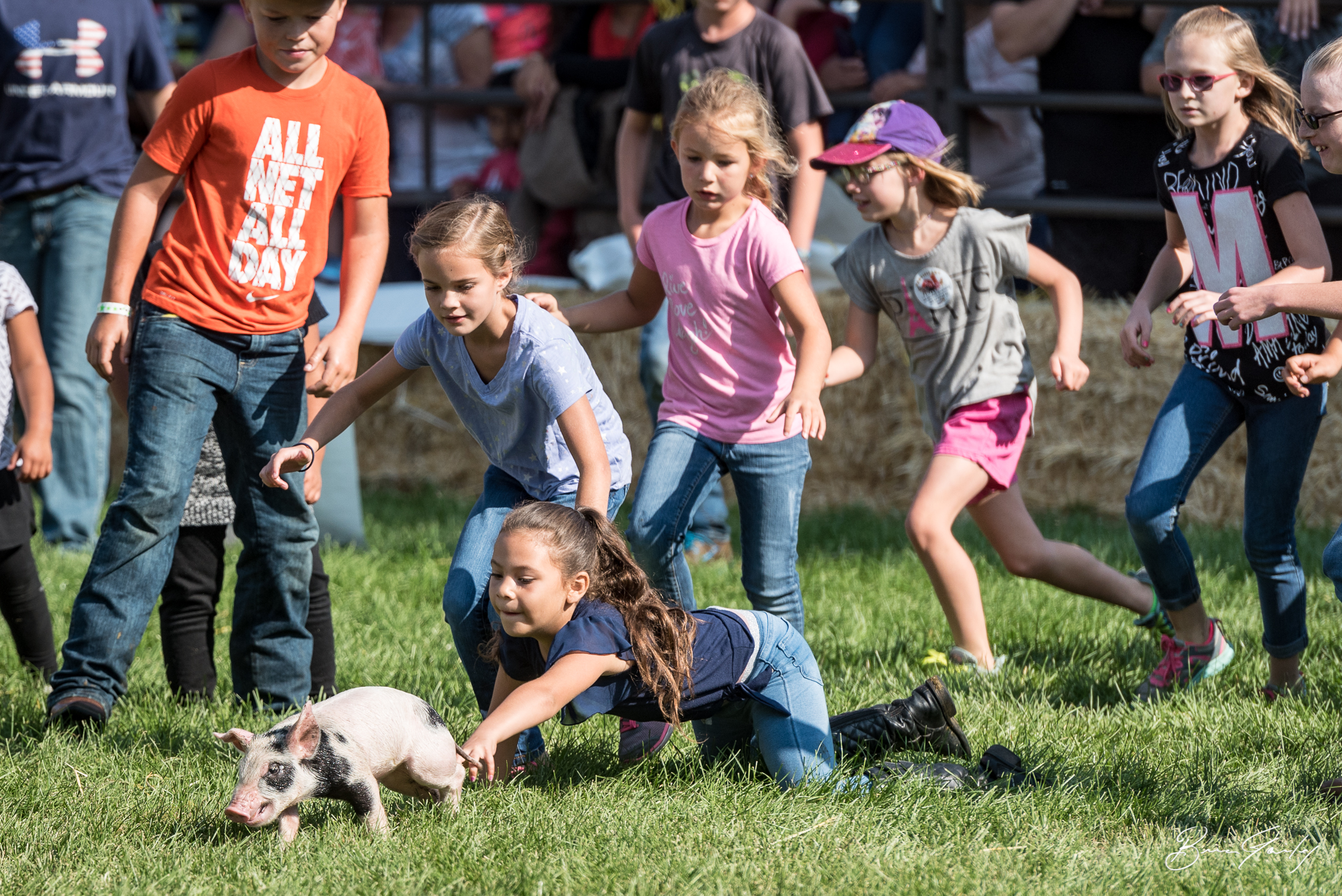 The Pig Scramble is an annual tradition at the fair. This little pigglets are just a few weeks old. They get all slicked up and children chase after them, if you catch it you keep it. In most cases, these little fella become raised like a pet rather than livestock. Some might even be shown at next years fair.  Image:  Brian Gailey  Tulelake Butte Valley Fair 2017