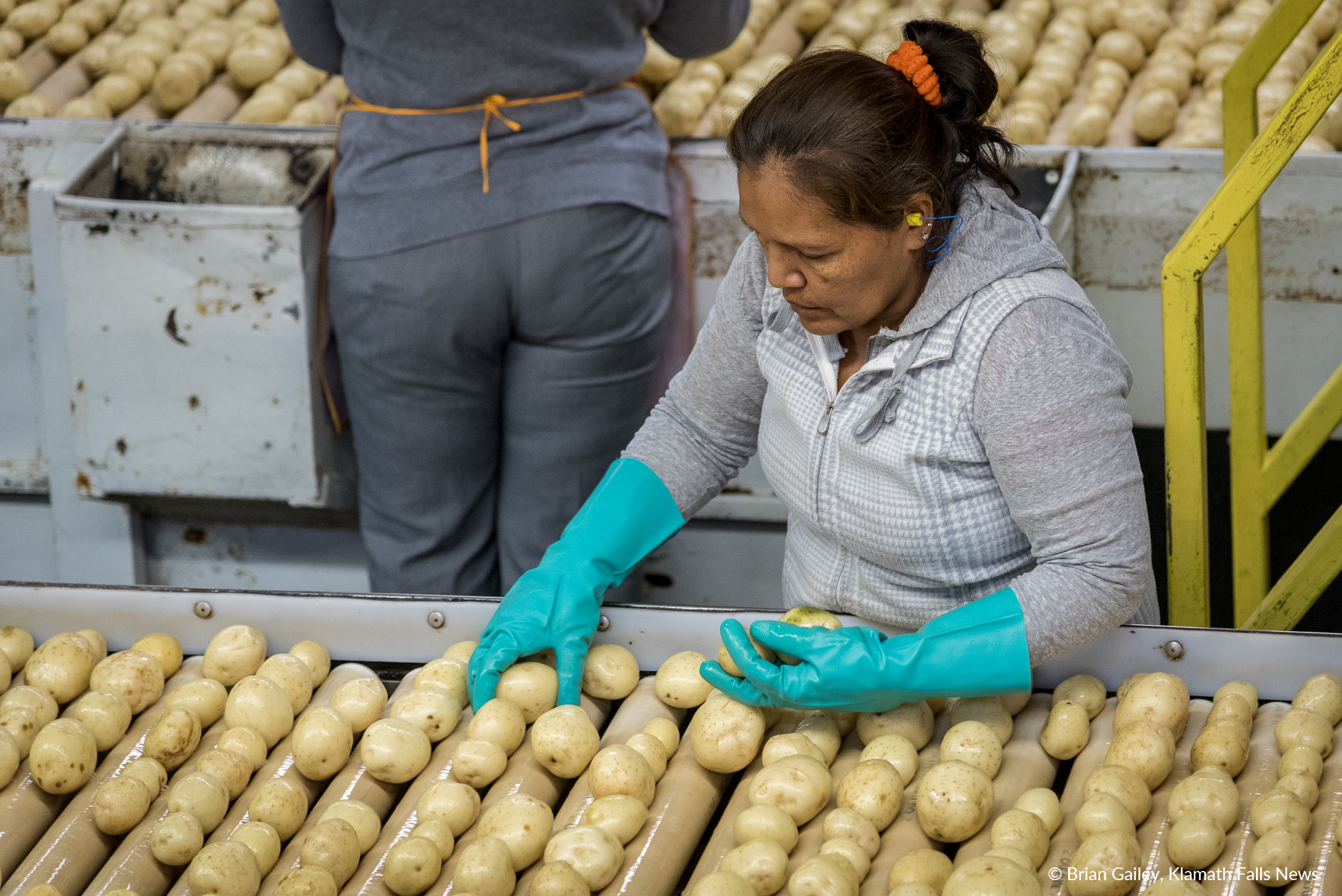 """A worker from Gold Dust Potato Processors sorts """"chipping"""" potatoes destined to be snack chips in bags of Lays Potato Chips. (Brian Gailey)"""