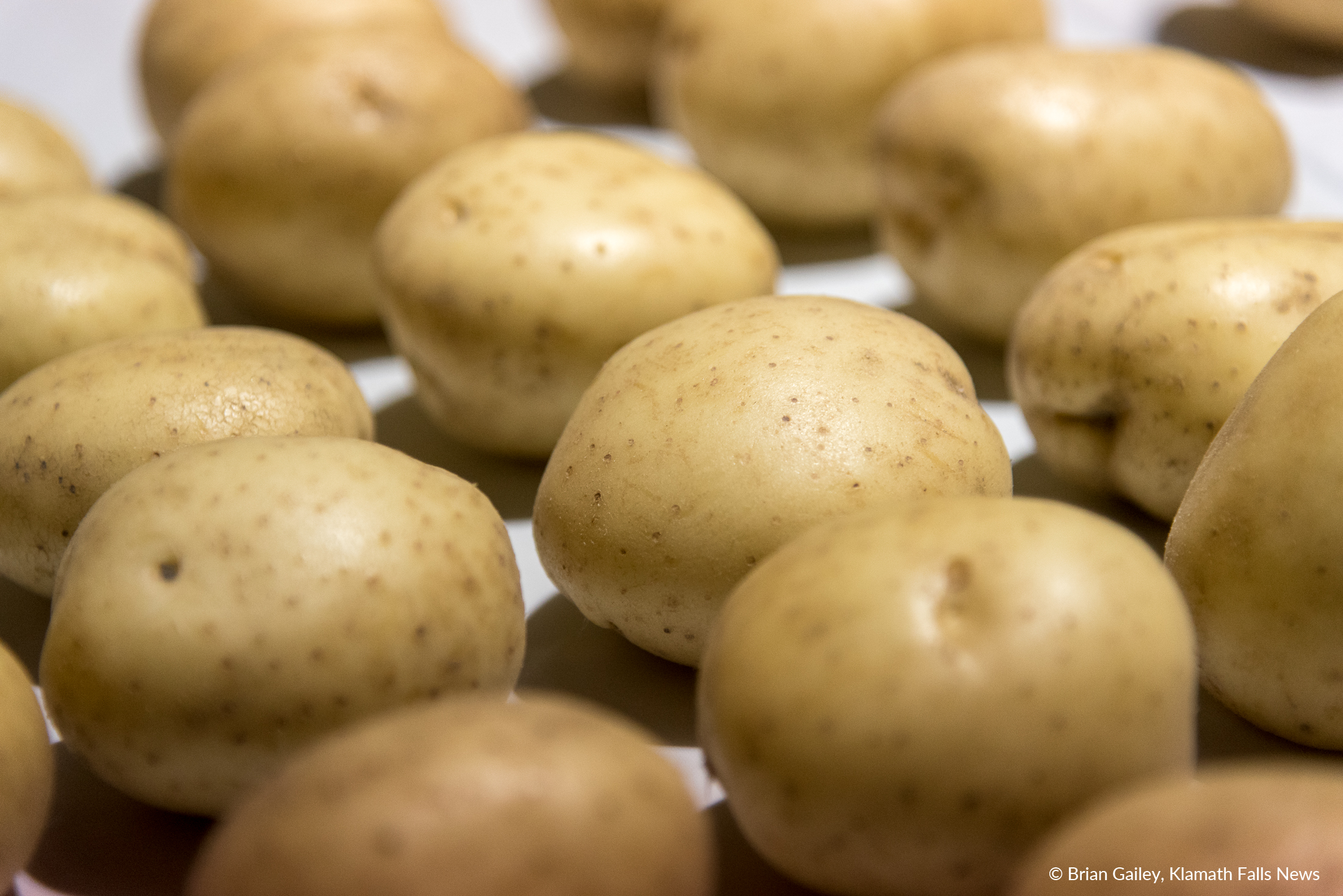 """A close up of the """"chipping"""" potato. Unlike a brown russet potato grown for the open market, these specialty potatoes are grown specifically for Frito-Lay under contract. This way processors and growers know what they will earn at the end of the season. (Brian Gailey)"""