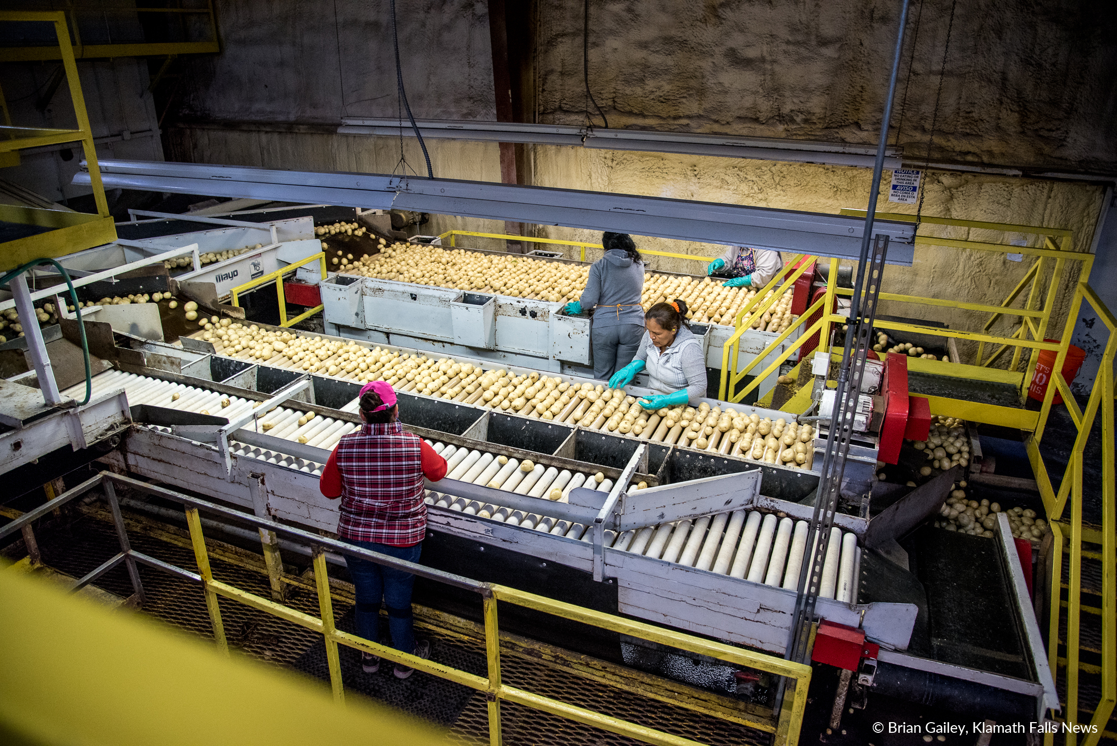 A wide view of the sorting tables at Gold Dust Potatoes. These little spuds will eventually be chipped,fried and bagged into Lays Potato Chips. (Brian Gailey)