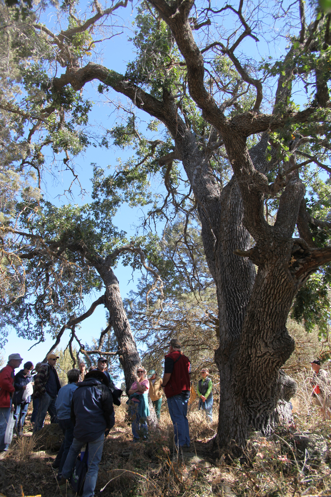 An oak woodlands walk will be offered at 10 a.m. Saturday on the Skillet Handle of the Running Y Ranch Resort.