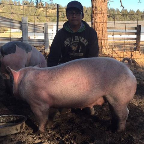 My name is Mauricio I have lived in bonanza my whole life I have always worked around animals and when I was in the the 6th grade I took a sheep to the Klamath county fair and placed really high this year I decided to take a pig with my older sister. She showed me how to properly feed,water and walk my pig this year even if though our pigs were a little light we still worked hard with them and tried our best at the fair my pig is around 250 pounds and like to get scratches under her chin.