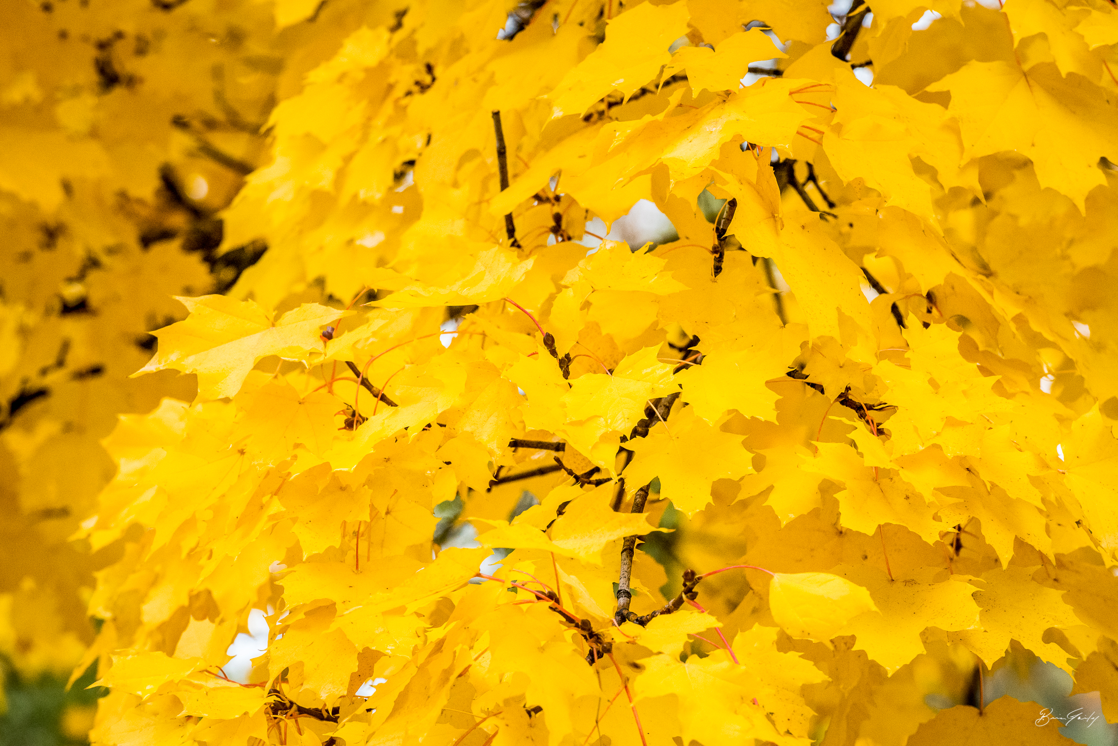 Golden leaves decorate trees inside the Linkville Cemetery in Klamath Falls  Image: Brian Gailey