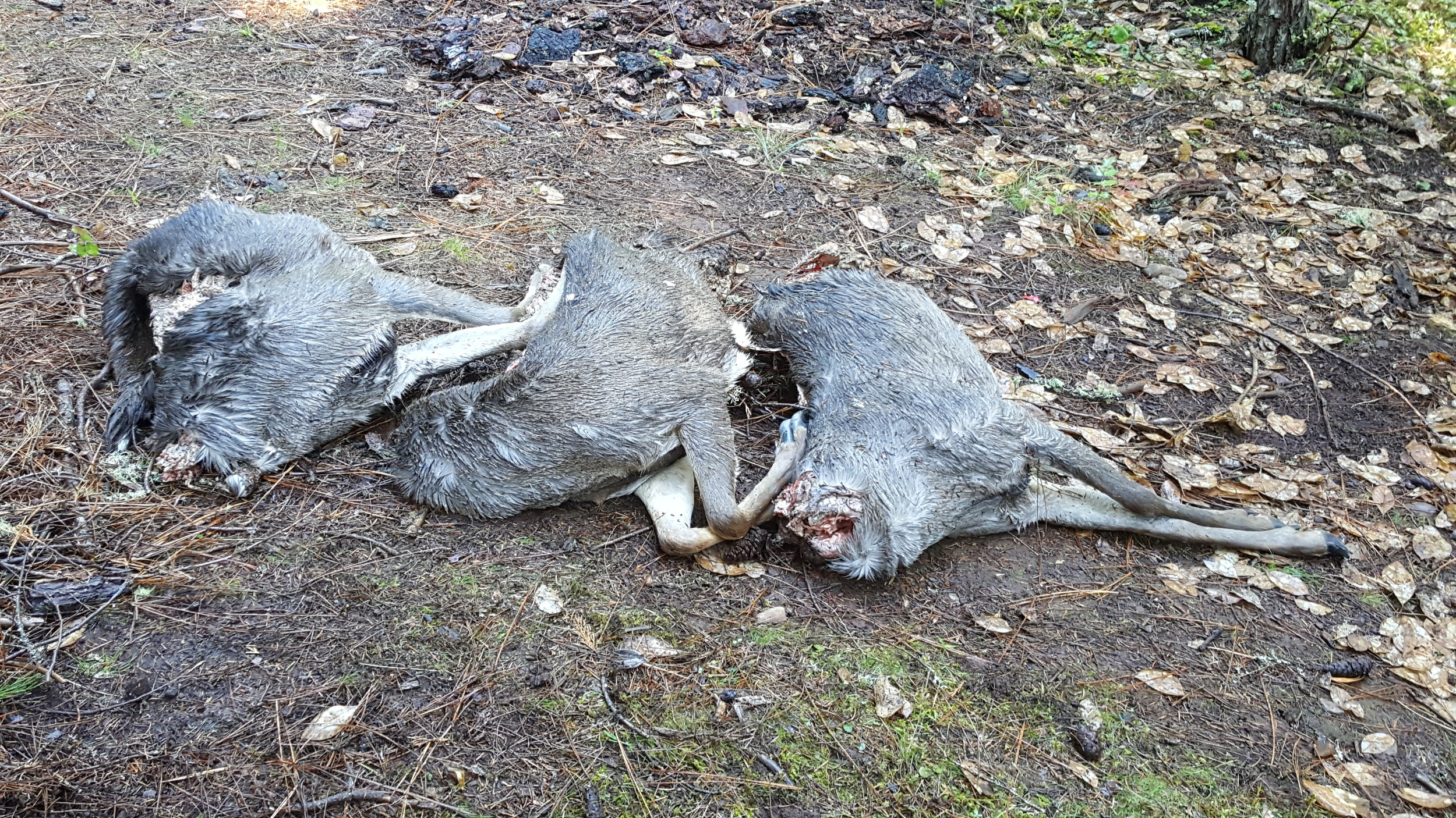 Oregon State Police seeking public assistance in the unlawful killing/waste of three black tail deer outside of Butte Falls, Ore.