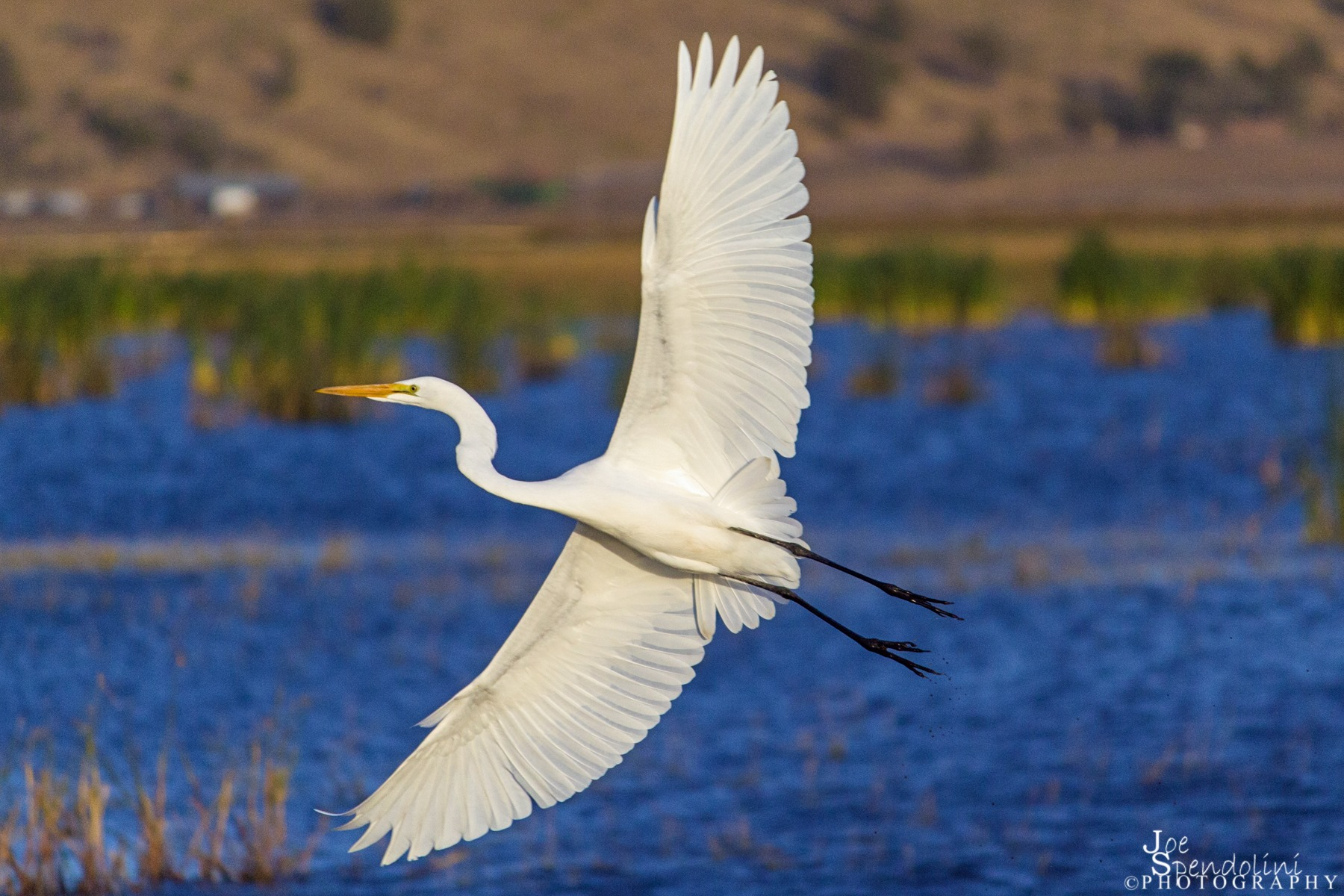 A Great White Egret. Image by  Joe Spendolini.