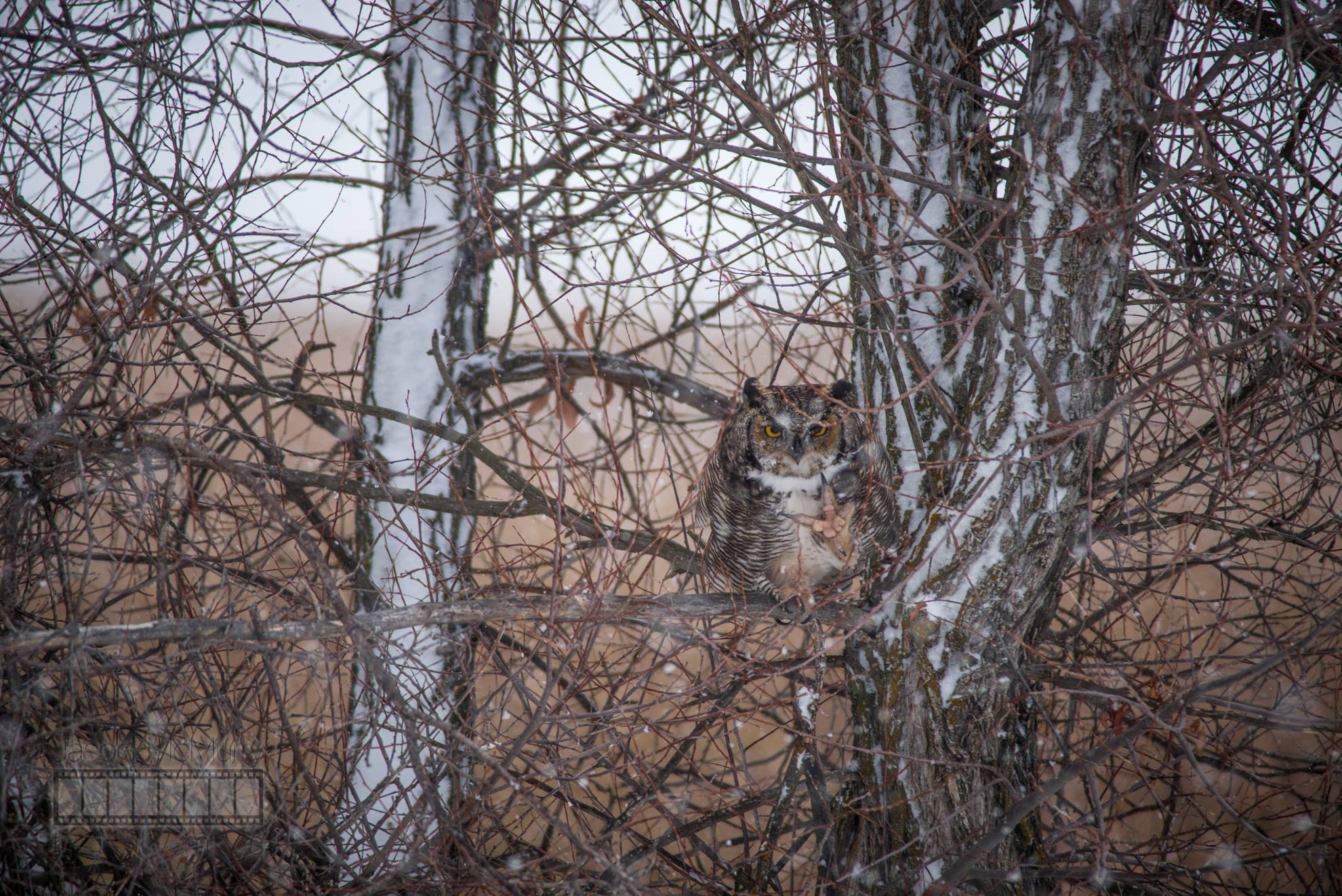 A Great Horned Owl sits calmly camoflauged in a tree.Image by  Jason McMurry .