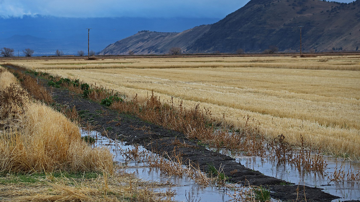 Standing grains in a leased farm at the Tule Lake NWR (USFWS)