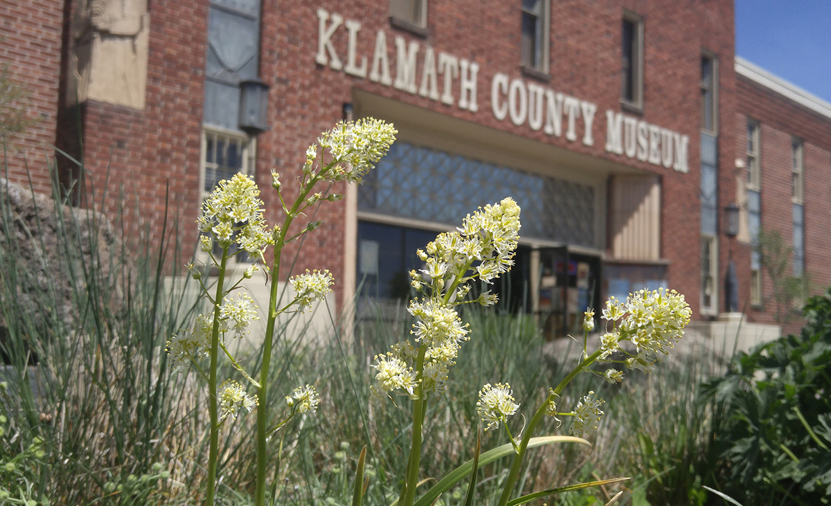 Death camas is among the native wildflowers blooming this week in native plant gardens at the Klamath County Museum.