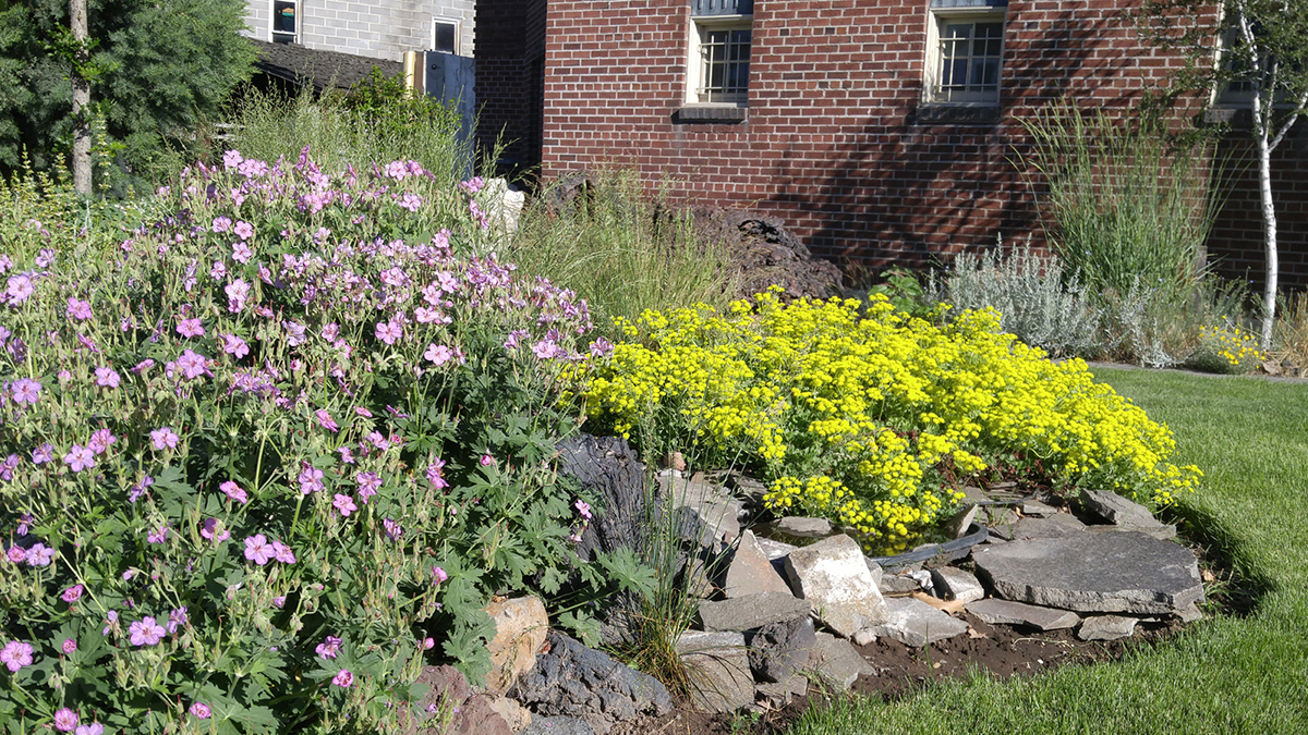 Sticky purple geranium and sulfur buckwheat are among the native plants expected to available during a plant sale Saturday at the Klamath County Museum.