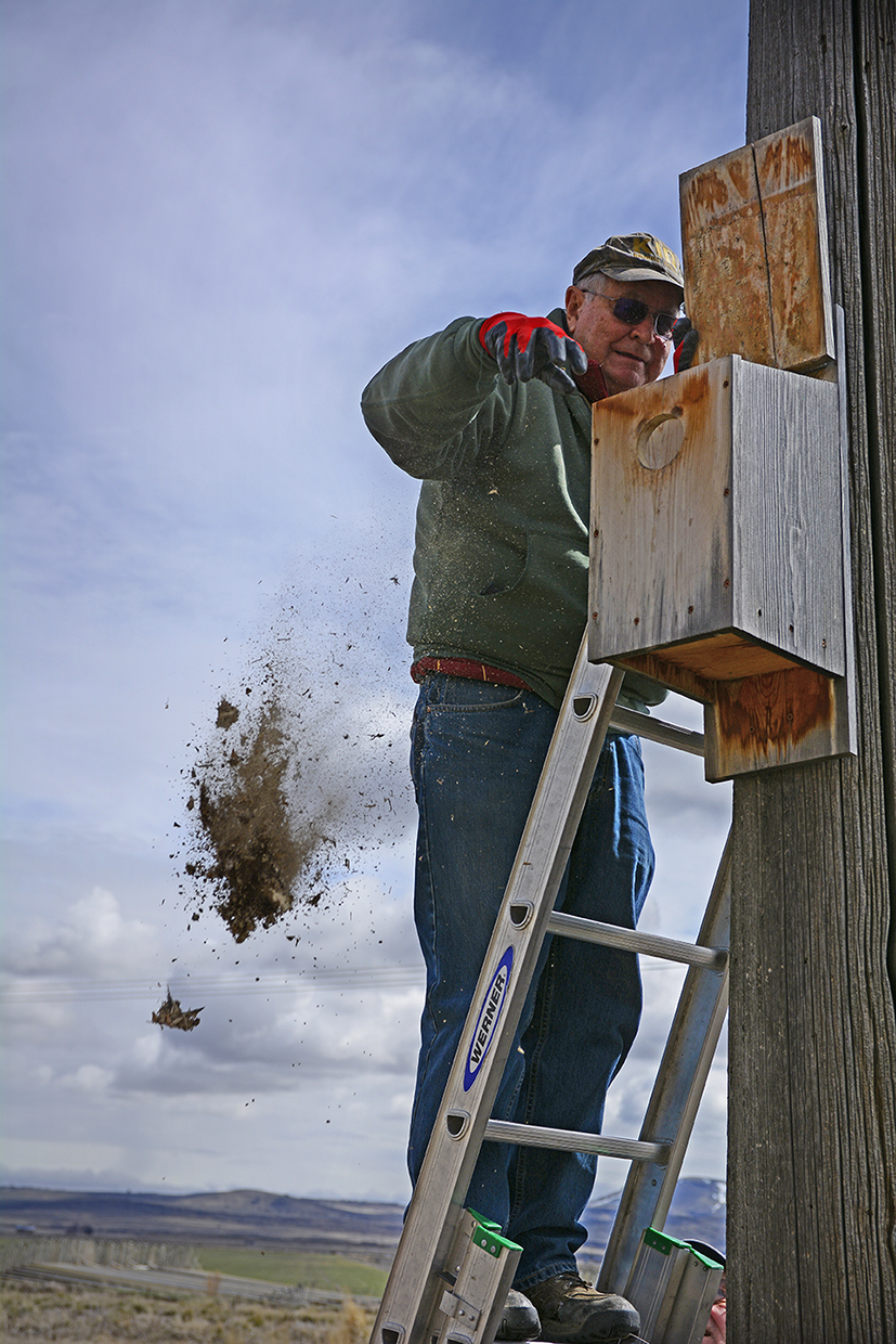 Phillips cleaning a nesting box along his Malin, Oregon route in March 2019. Credit: Jon Myatt/USFWS