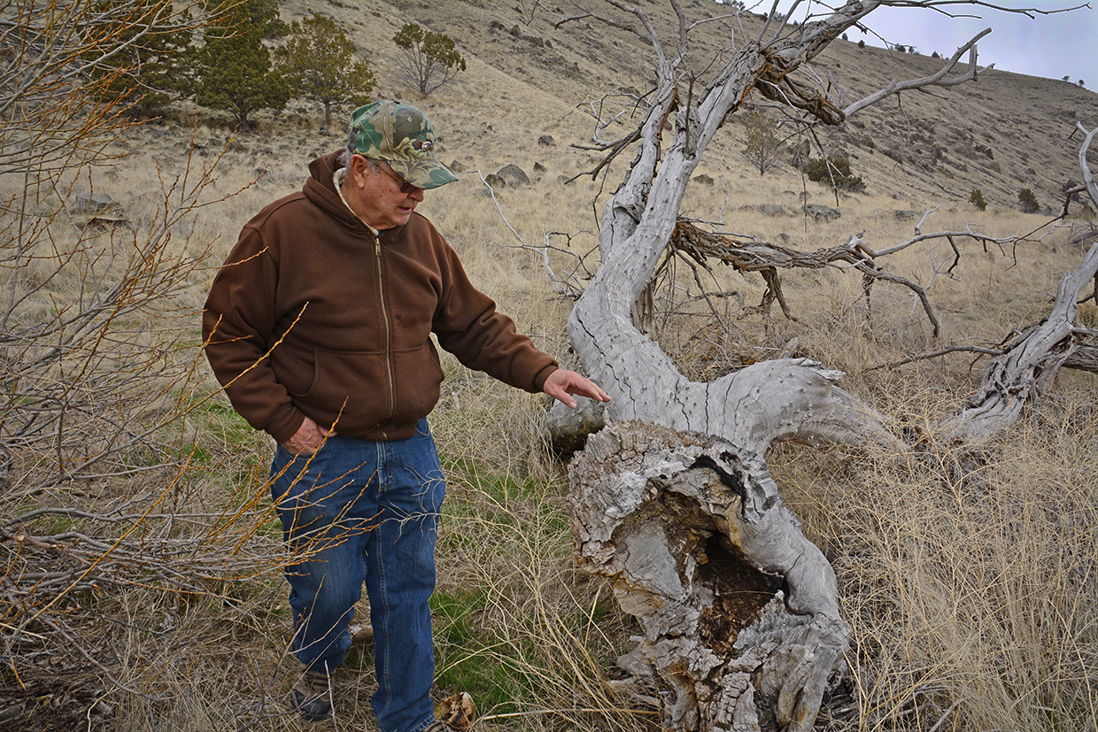 The 2018-2019 winter was hard on trees where kestrel boxes where mounted. Here, Cy inspects a downed tree along his project loop. Credit: Jon Myatt/USFWS