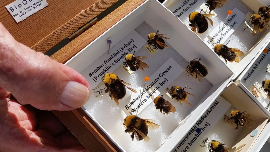 The last Franklin's bumblebee was found by Robbin Thorp in 2006. Jes Burns, OPB/EarthFix
