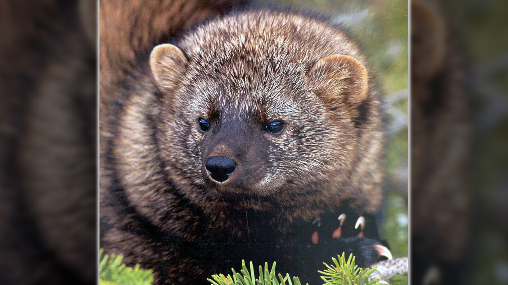 The Pacific fisher is expected to benefit from a conservation agreement between the Oregon Department of Forestry and U.S. Fish & Wildlife Service. (Photo courtesy USFWS)