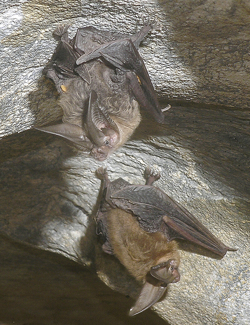 Just hanging out – Townsends big-eared bats are the most common species to use Barnum Cave, primarily during the winter months. These bats hunt insects about 4 – 6 feet off the ground, and prefer beetles and moths. Photo courtesy of Dave Bunnell/Under Earth Images