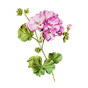 Geranium watercolor