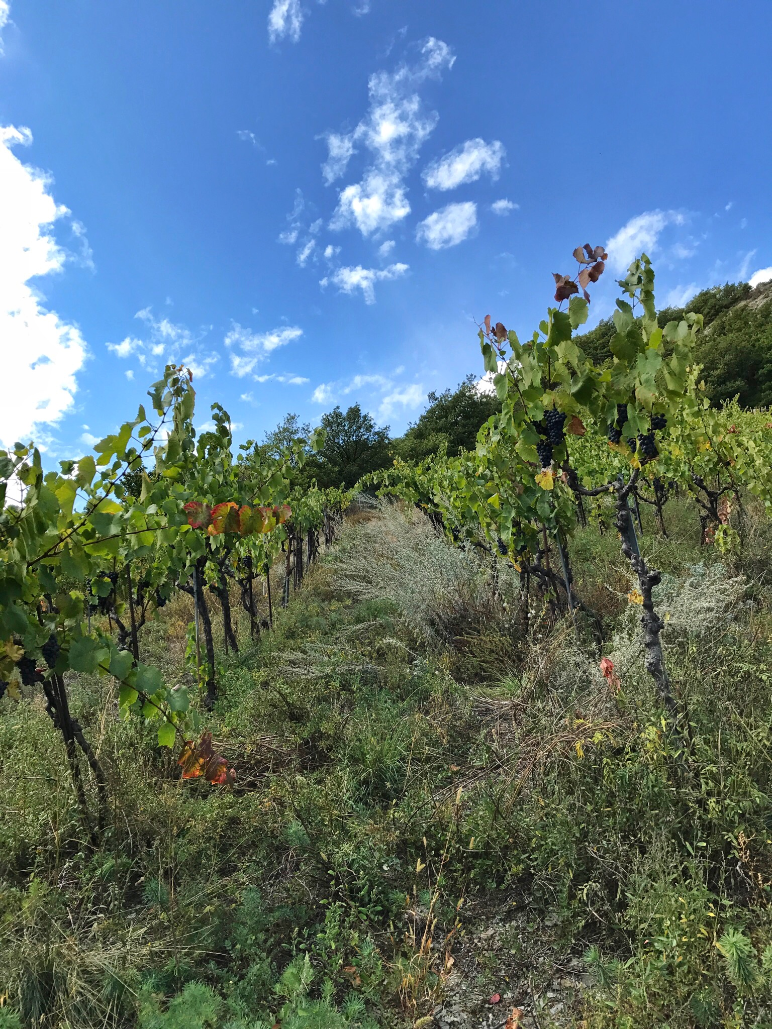 The steep slopes where the magic begins; as you can see there's more life in this vineyard than just grapes and that rich ecosystem is one of Mythopia's secrets
