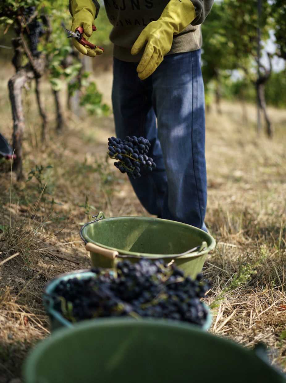 Harvest in the Pfalz -
