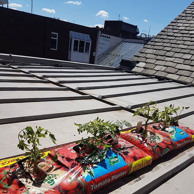 Blue skies and tomatoes 🍅🍅 on the roof! We're going green for the EcoChurch initiative.  Feeling this could be really... Fruitful . . . . . . #ecochurch #sthpc #godlovessthelens #sthelens #tomatoes #blueskies #sunday #church #green #puns
