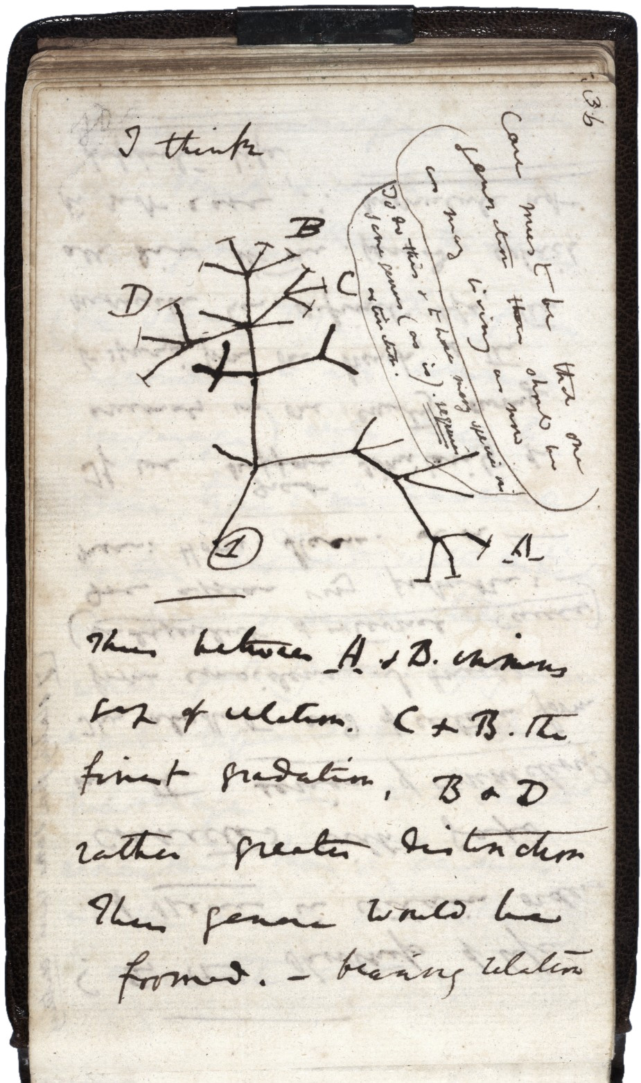 Page from Darwin's notebooks around July 1837, showing his first sketch of an evolutionary tree.
