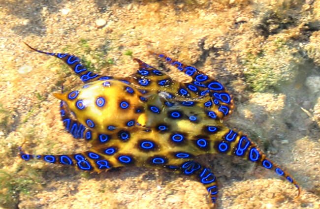 Blue-Ringed-Octopus-4-650x425.jpg