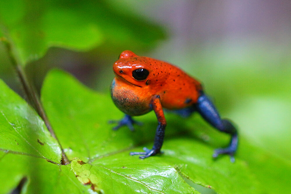 poison_frog_strawberry.jpg