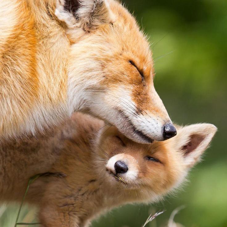 mama_fox.jpg