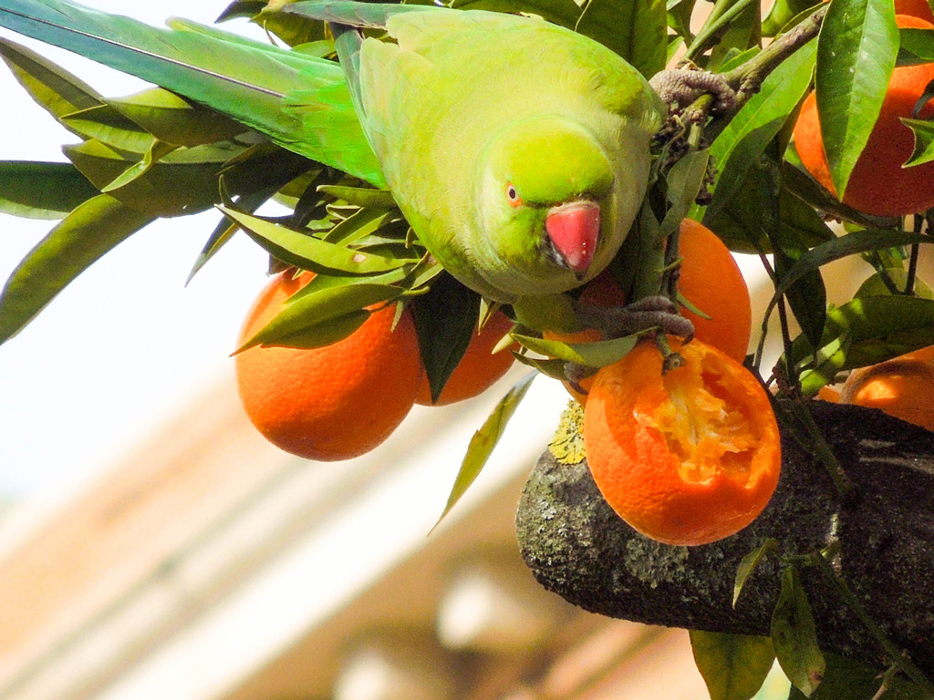 A parrot eating an orange near the Vatican Museum - would we have been able to capture this if we were being shuffled around in the crowd?