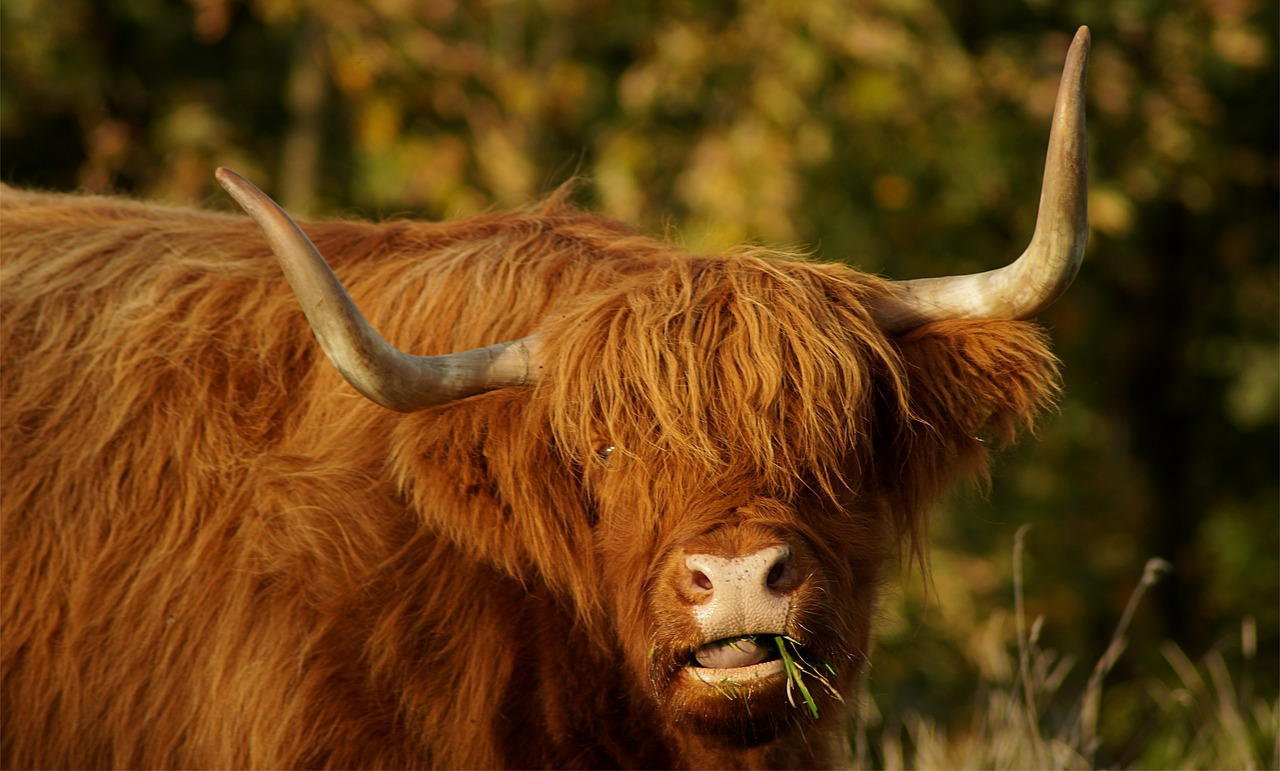3 villages worth seeing in the Scottish Highlands - cow