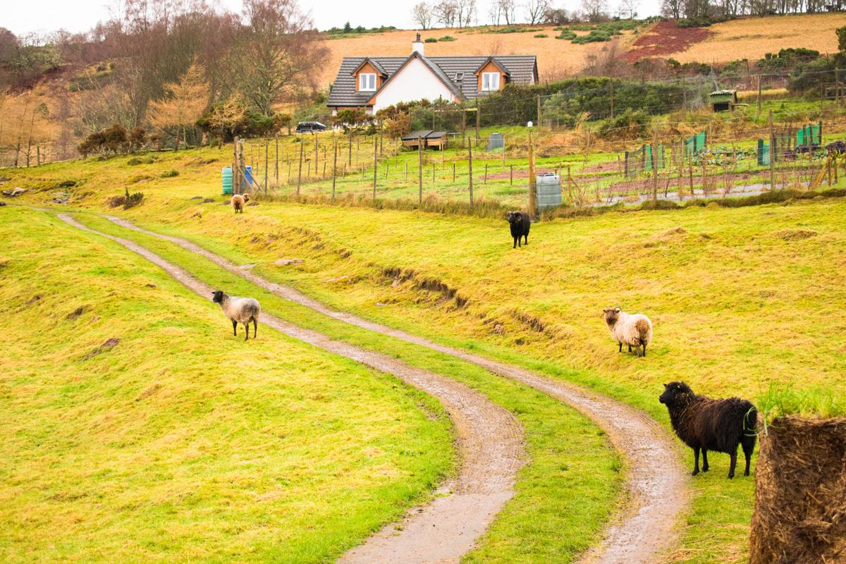 Sheep hanging out at their farm near Drumnadrochit
