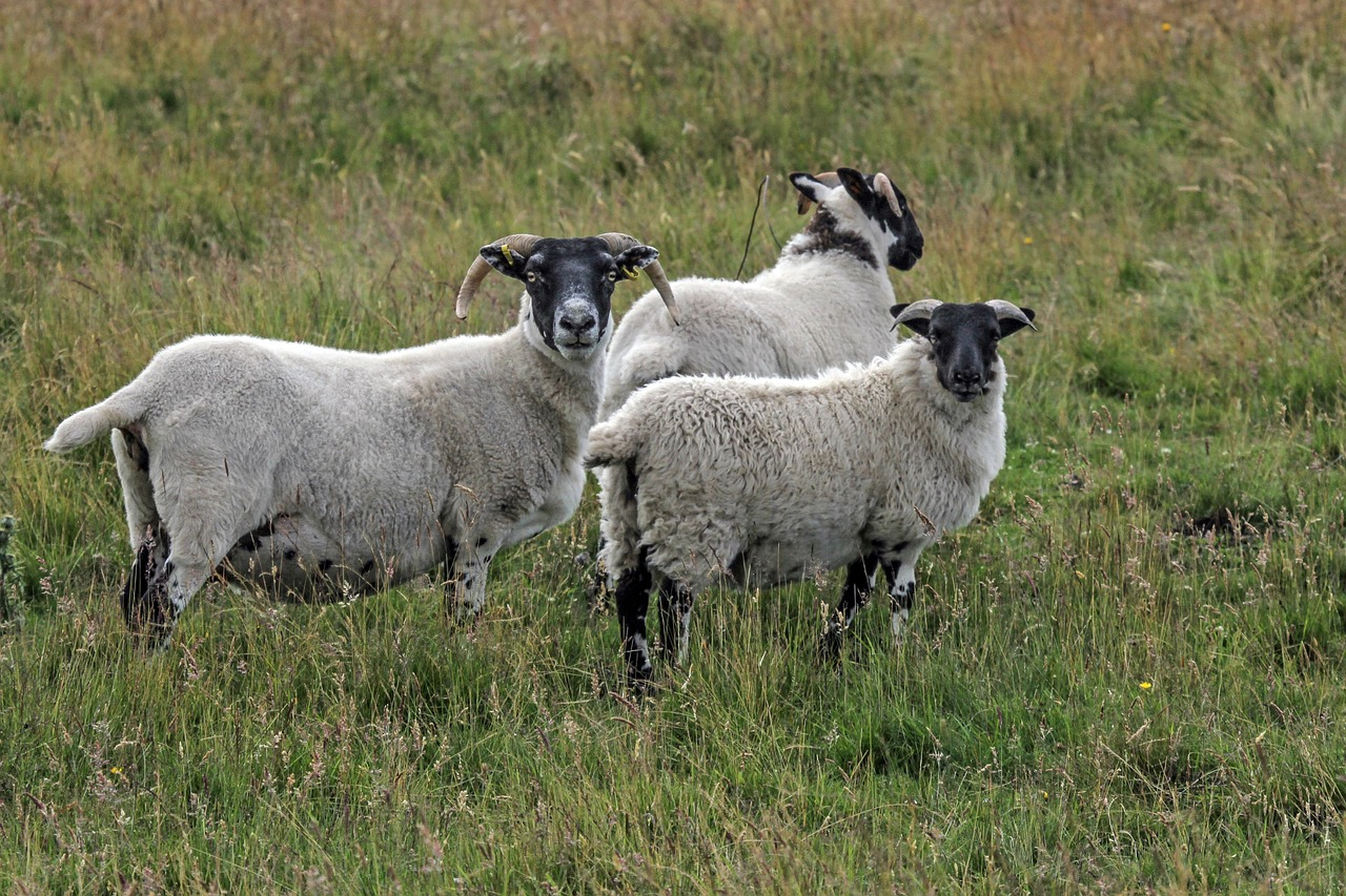3 Villages Worth Seeing in the Scottish Highlands - sheep
